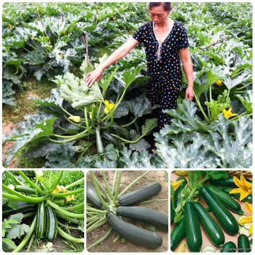 Hạt giống bí ngòi xanh - 5655282 , 9554273 , 15_9554273 , 35000 , Hat-giong-bi-ngoi-xanh-15_9554273 , sendo.vn , Hạt giống bí ngòi xanh