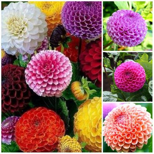 Hạt giống hoa thược dược tổ ong Mix nhiều màu gói 30 hạt xuất xứ Đức