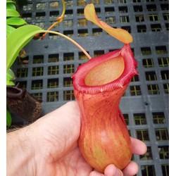 Bộ 80 hạt giống Cây Nắp Ấm - Bắt côn trùng tặng kèm Dớn trồng