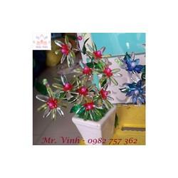 Hoa pha lê - Hứng nắng - Hoa thược dược - HN