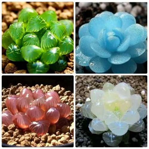 hạt giống sen đá kim cương - 5309663 , 8829042 , 15_8829042 , 50000 , hat-giong-sen-da-kim-cuong-15_8829042 , sendo.vn , hạt giống sen đá kim cương