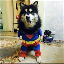 Áo Super Man có tay cho chó mèo A43 size M