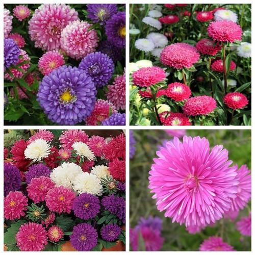 Hạt giống hoa Cúc Đài Loan - 50 hạt