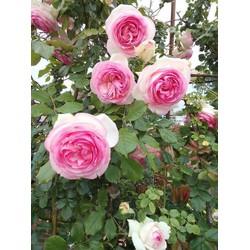 COMBO 2 gói hạt giống hoa hồng leo đủ màu