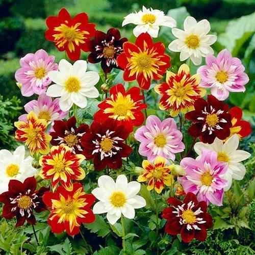 Thược dược mix 60 hạt siêu dễ trồng hoa đẹp