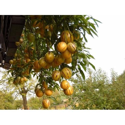 Hạt giống dưa pepino gói 4 hạt xuất xứ  Đức