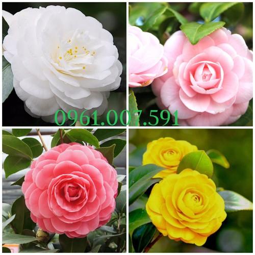 Hạt giống hoa trà my mix nhiều màu gói 5 hạt xuất xứ Nhật Bản