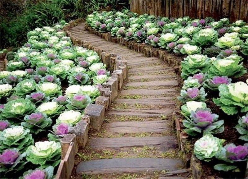Hạt giống Bắp cải hoa hồng- 20 hạt 9