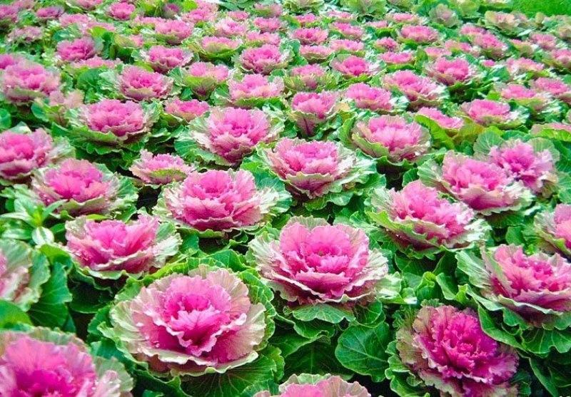 Hạt giống Bắp cải hoa hồng- 20 hạt 6