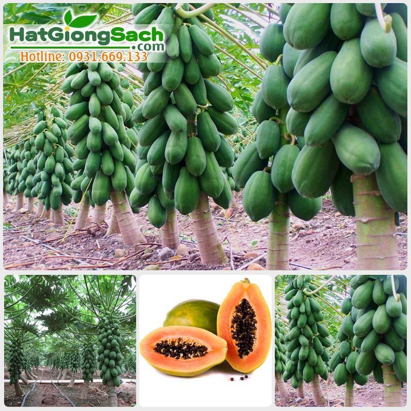 Hạt giống Đu Đủ lùn siêu trái - 3 hạt 10