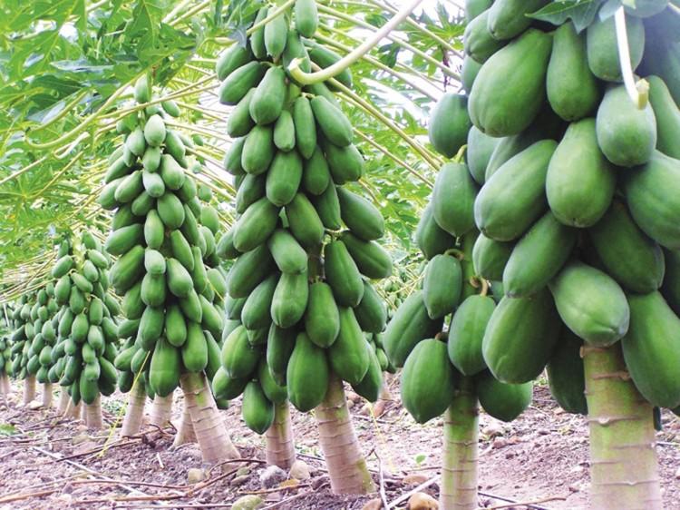 Hạt giống Đu Đủ lùn siêu trái - 3 hạt 1