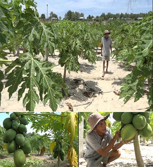 Hạt giống Đu Đủ lùn siêu trái - 3 hạt 3