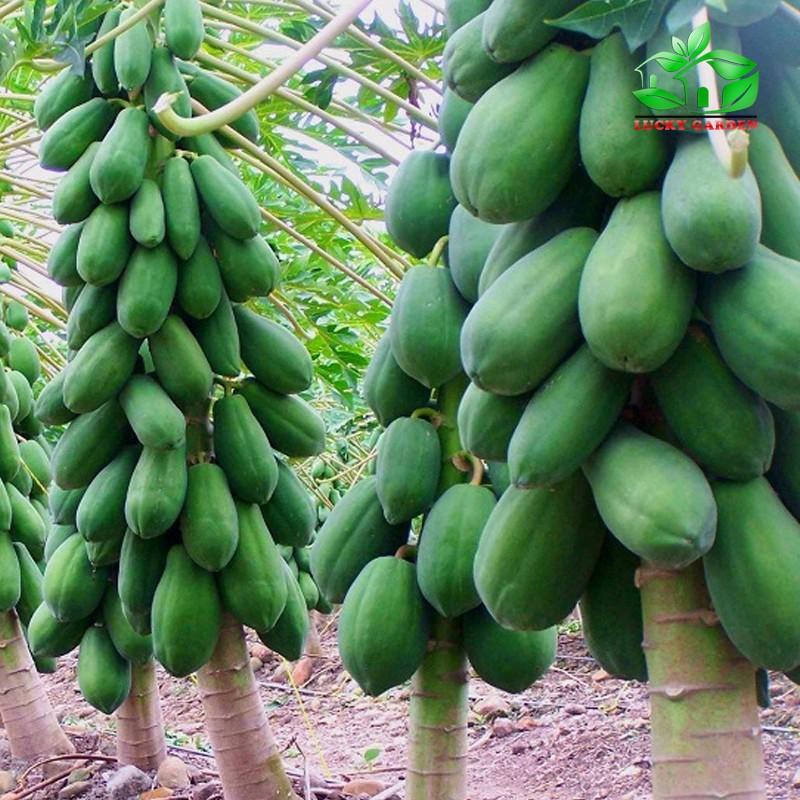 Hạt giống Đu Đủ lùn siêu trái - 3 hạt 6