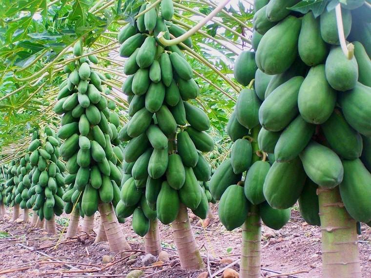Hạt giống Đu Đủ lùn siêu trái - 3 hạt 8