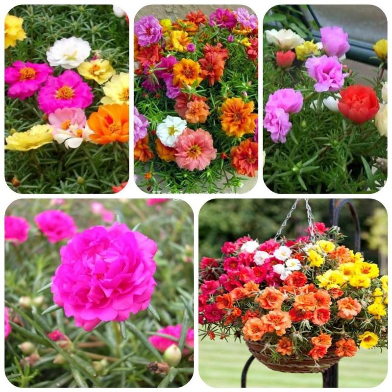 Hạt giống hoa mười giờ mỹ kép mix màu 1