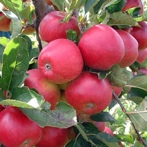 Hạt giống táo tây