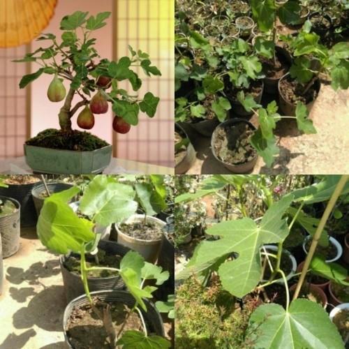 Cây giống sung Mỹ - 5486210 , 9204254 , 15_9204254 , 280000 , Cay-giong-sung-My-15_9204254 , sendo.vn , Cây giống sung Mỹ