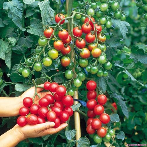Hạt giống Cà chua bi tròn cao