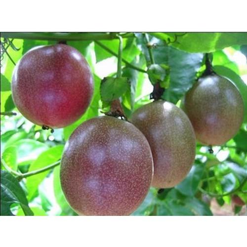 Hạt giống cây Chanh Leo siêu quả gói 20 hạt xuất xứ Đức