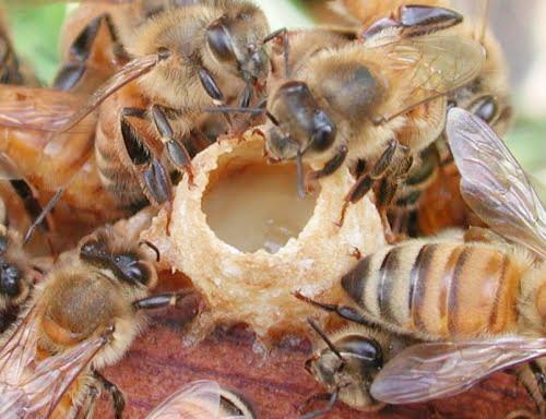 Sữa Ong Chúa Tươi Nguyên Chất 100g 1