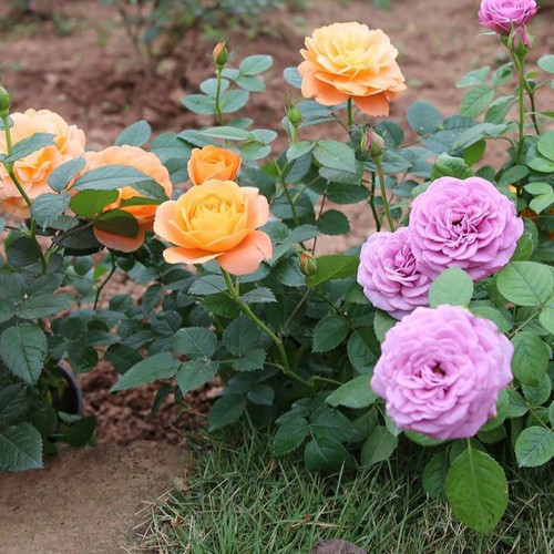Bộ 3 gói Hạt giống hoa hồng thơm - 5761762 , 9767888 , 15_9767888 , 90000 , Bo-3-goi-Hat-giong-hoa-hong-thom-15_9767888 , sendo.vn , Bộ 3 gói Hạt giống hoa hồng thơm