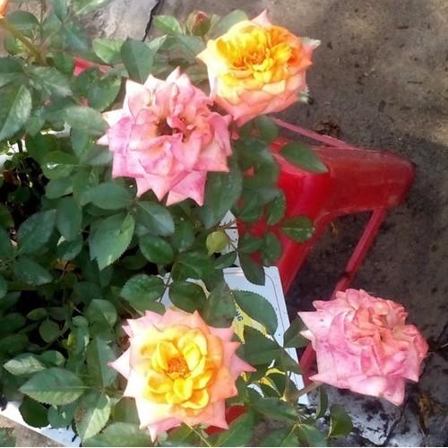 Bộ 5 gói Hạt giống hoa hồng thơm Pháp - 6144440 , 12690966 , 15_12690966 , 100000 , Bo-5-goi-Hat-giong-hoa-hong-thom-Phap-15_12690966 , sendo.vn , Bộ 5 gói Hạt giống hoa hồng thơm Pháp