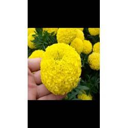 Hạt Giống Hoa Vạn Thọ Pháp Vàng
