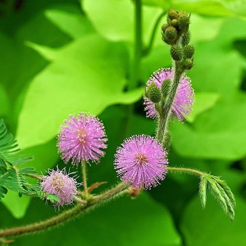 COMBO 5 Gói Hạt Giống Hoa MImosa TẶNG 1 Phân Bón