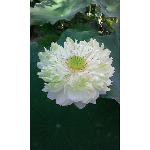 Hạt giống sen bách diệp hoa màu trắng_ 5 hạt