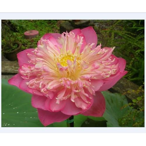 Hạt giống sen bách diệp hoa màu hồng_ 5 hạt