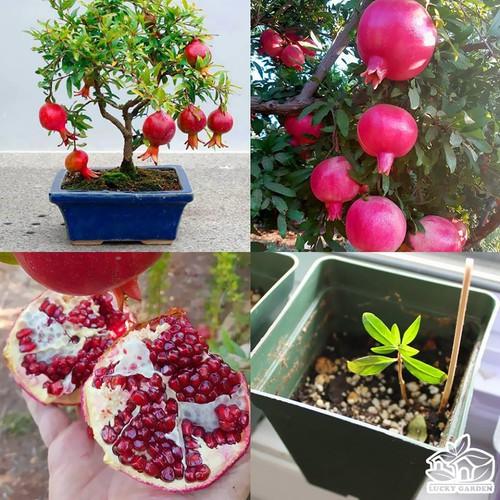 Hạt giống lựu lùn bonsai_ tặng kèm 3 viên nén kích thích ươm hạt giống - 5895501 , 9956414 , 15_9956414 , 35000 , Hat-giong-luu-lun-bonsai_-tang-kem-3-vien-nen-kich-thich-uom-hat-giong-15_9956414 , sendo.vn , Hạt giống lựu lùn bonsai_ tặng kèm 3 viên nén kích thích ươm hạt giống