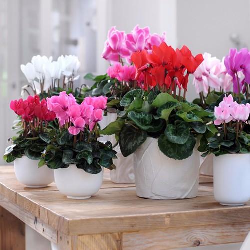 hạt giống hoa anh thảo f1