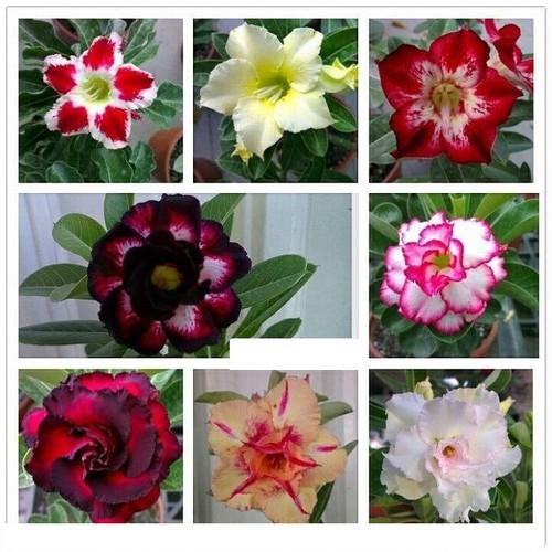 Hạt giống hoa sứ thái kép mix_ gói 8 hạt 8 màu tặng kèm 3 viên nén ươm hạt - 5901164 , 9965704 , 15_9965704 , 65000 , Hat-giong-hoa-su-thai-kep-mix_-goi-8-hat-8-mau-tang-kem-3-vien-nen-uom-hat-15_9965704 , sendo.vn , Hạt giống hoa sứ thái kép mix_ gói 8 hạt 8 màu tặng kèm 3 viên nén ươm hạt