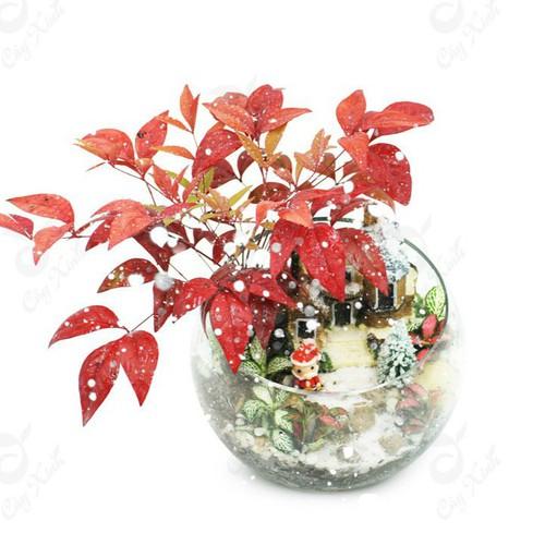 Hạt giống cây cảnh - Giống phong lá đỏ Bonsai