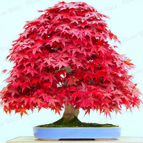 Bộ 2 gói hạt giống cây cảnh - Hạt phong lá đỏ Bonsai - 7137316 , 17027669 , 15_17027669 , 50000 , Bo-2-goi-hat-giong-cay-canh-Hat-phong-la-do-Bonsai-15_17027669 , sendo.vn , Bộ 2 gói hạt giống cây cảnh - Hạt phong lá đỏ Bonsai