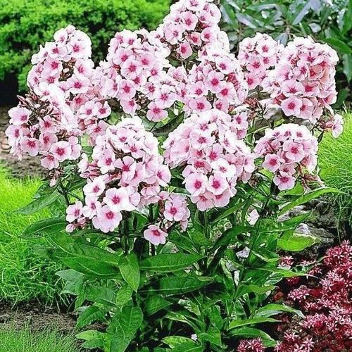 COMBO 5 gói hạt giống hoa Thanh Trúc TẶNG 1 phân bón - 5920167 , 9991645 , 15_9991645 , 89000 , COMBO-5-goi-hat-giong-hoa-Thanh-Truc-TANG-1-phan-bon-15_9991645 , sendo.vn , COMBO 5 gói hạt giống hoa Thanh Trúc TẶNG 1 phân bón