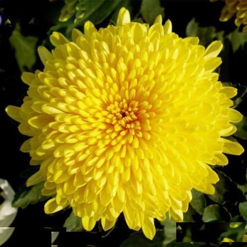 hạt giống hoa cúc vàng - 5031209 , 10119495 , 15_10119495 , 15000 , hat-giong-hoa-cuc-vang-15_10119495 , sendo.vn , hạt giống hoa cúc vàng