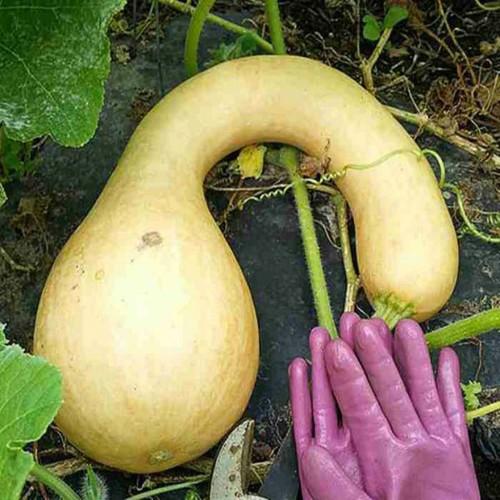 COMBO 10 gói hạt giống bí thiên nga TẶNG 1 phân bón