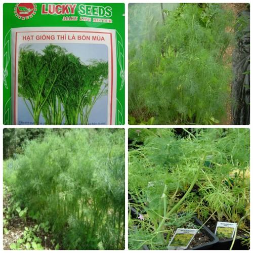 COMBO 6 gói hạt giống cây thì là bốn mùa TẶNG 1 phân bón - 4060990 , 10157325 , 15_10157325 , 99000 , COMBO-6-goi-hat-giong-cay-thi-la-bon-mua-TANG-1-phan-bon-15_10157325 , sendo.vn , COMBO 6 gói hạt giống cây thì là bốn mùa TẶNG 1 phân bón