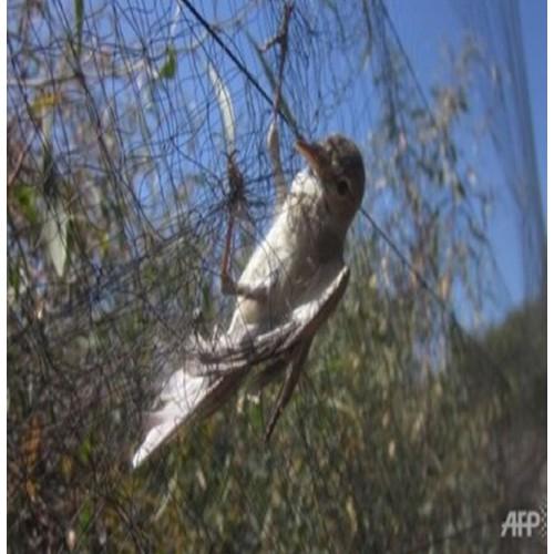 lưới bẫy chim chào mào chích choè cao 5m dài 20cm