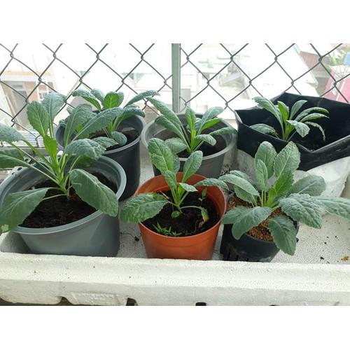 COMBO 2 gói hạt giống cải xanh Kale TẶNG 1 phân bón