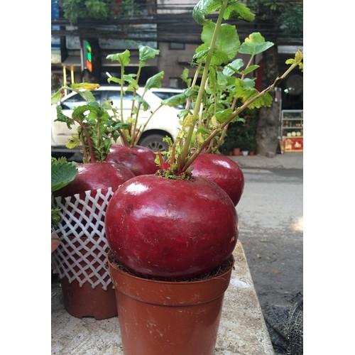 COMBO 5 gói  hạt giống củ cải đỏ khổng lồ TẶNG 1 phân bón - 4104656 , 10223287 , 15_10223287 , 89000 , COMBO-5-goi-hat-giong-cu-cai-do-khong-lo-TANG-1-phan-bon-15_10223287 , sendo.vn , COMBO 5 gói  hạt giống củ cải đỏ khổng lồ TẶNG 1 phân bón