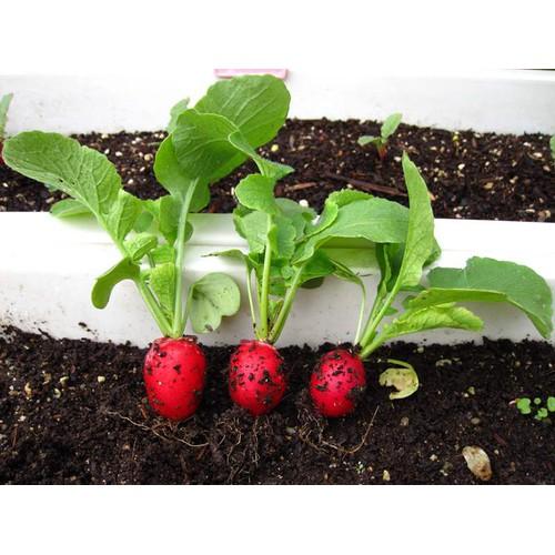 COMBO 5 gói hạt giống củ cải đỏ F1 TẶNG 1 phân bón - 4108670 , 10229917 , 15_10229917 , 89000 , COMBO-5-goi-hat-giong-cu-cai-do-F1-TANG-1-phan-bon-15_10229917 , sendo.vn , COMBO 5 gói hạt giống củ cải đỏ F1 TẶNG 1 phân bón