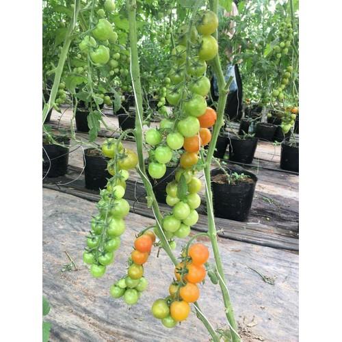 Hạt giống cà chua bi chùm 30 hạt  - tặng kèm 3 viên nén kích thích ươm hạt giống