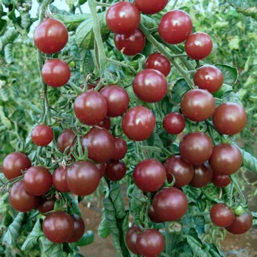 Combo 2 gói gói hạt giống cà chua bi sô cô la f1 tặng 1 phân bón