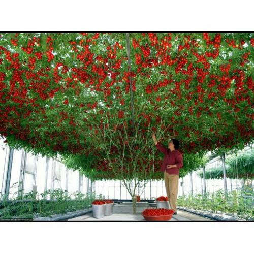 Hạt giống cà chua bạch tuộc_ tặng miễn phí kích mầm - 5931471 , 10007615 , 15_10007615 , 59000 , Hat-giong-ca-chua-bach-tuoc_-tang-mien-phi-kich-mam-15_10007615 , sendo.vn , Hạt giống cà chua bạch tuộc_ tặng miễn phí kích mầm
