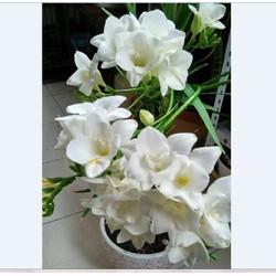 Củ giống hoa lan nam phi hoa màu trắng
