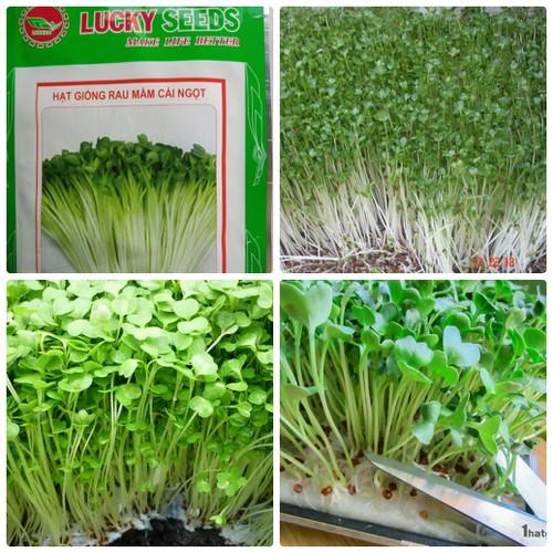 Hạt giống rau mầm cải ngọt ăn giòn dễ trồng dễ ăn