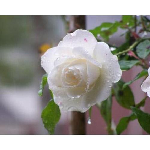 Hạt giống hoa hồng trắng 30 hạt_ tặng kèm 3 viên nén kích thích ươm hạt giống