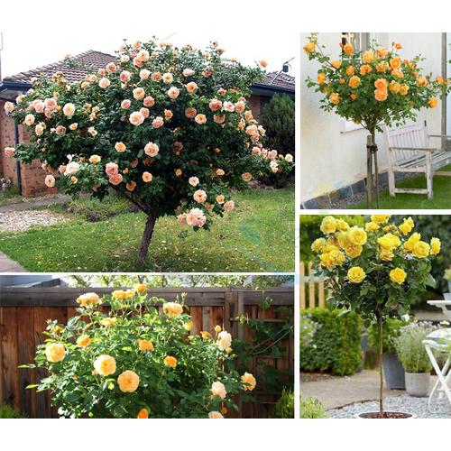 Hạt giống hoa hồng thân gỗ tặng Kích Mầm